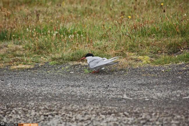 Przylądek Rauðinúpur - to ptasie królestwo